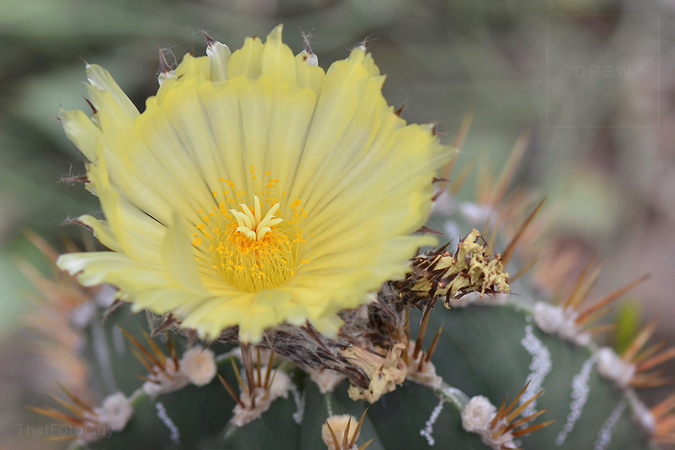 flowering-cactus.png