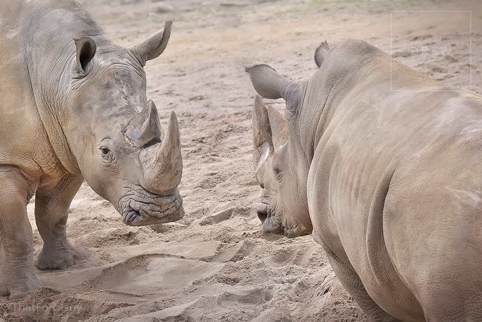 rhino-faceoff.png