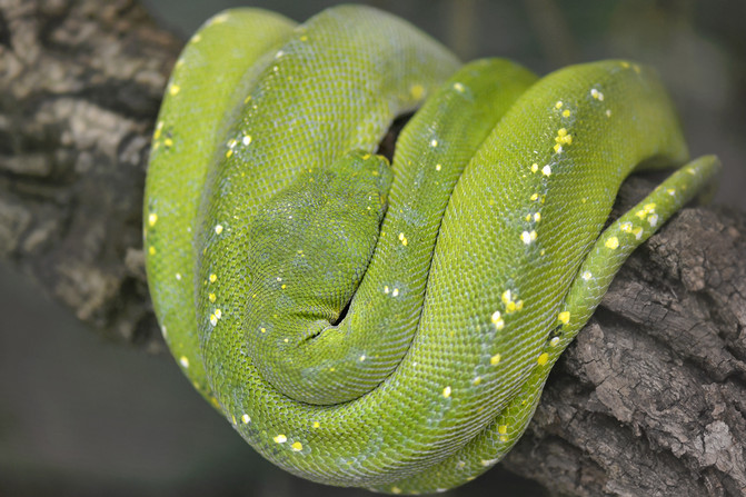 green-tree-python.jpeg