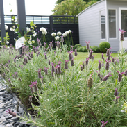 Newly planted lavender
