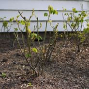 Pruned roses coming into leaf