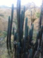 San Pedro Cactus Shaman Property