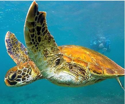 tortuga marina.png
