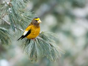 """""""Winter Finch"""" Invasion Underway"""