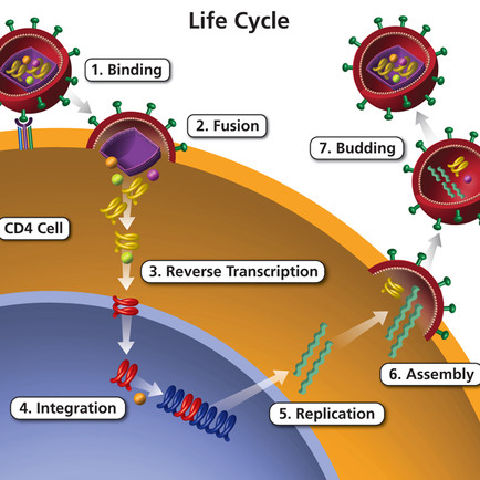 HIV REPLICATION CYCLE, BRIEFLY EXPLAINED