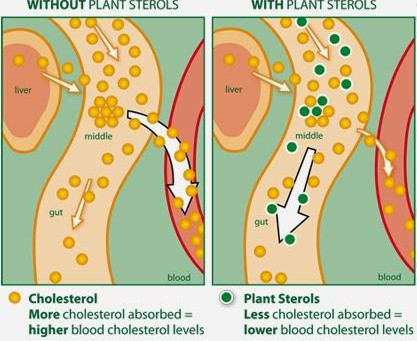 How Phytosterols Can Help Lower Your Cholesterol