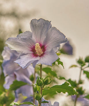 hibiscus-4459761_1280_edited_edited.jpg