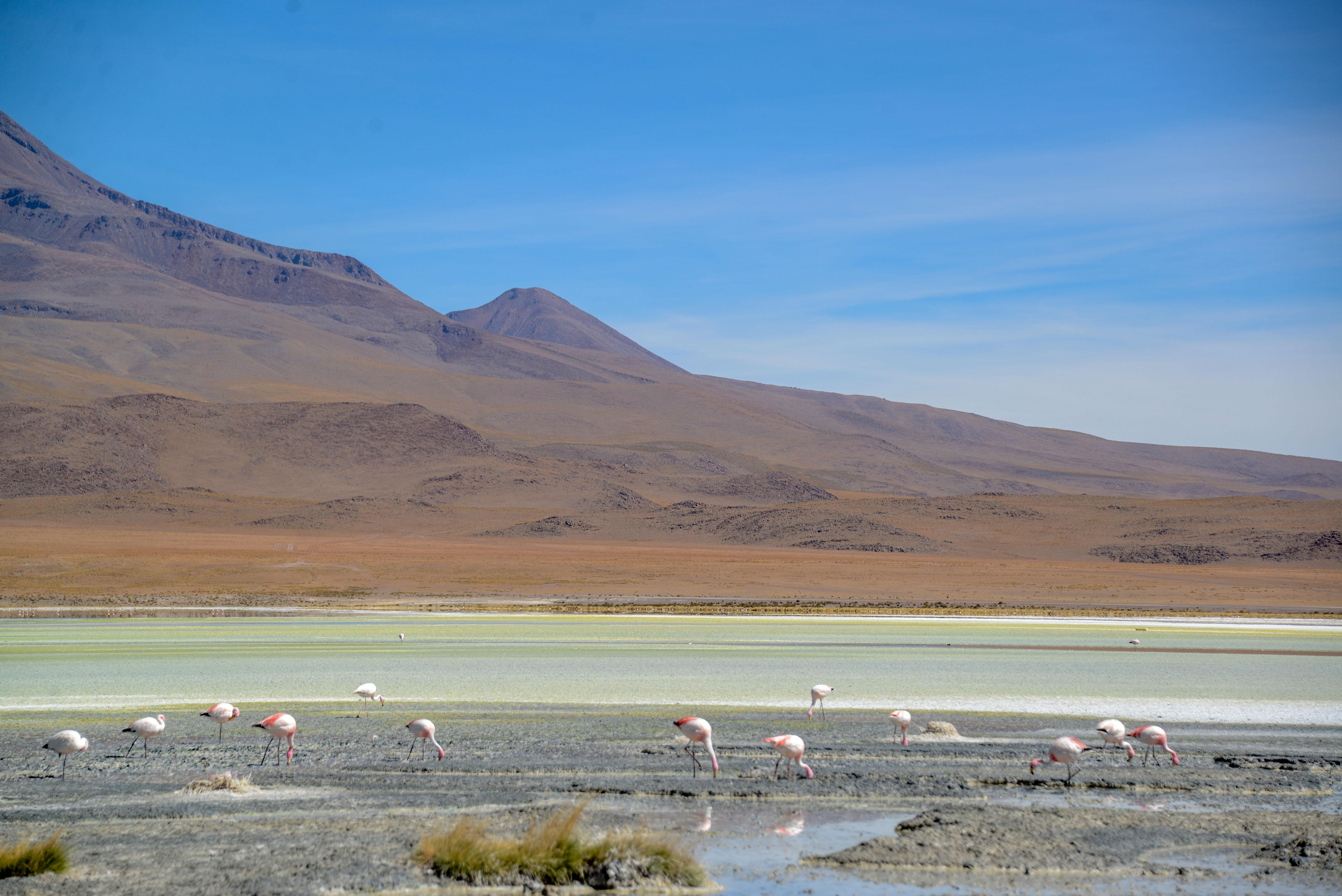''Flamingos na Laguna Hedionda''