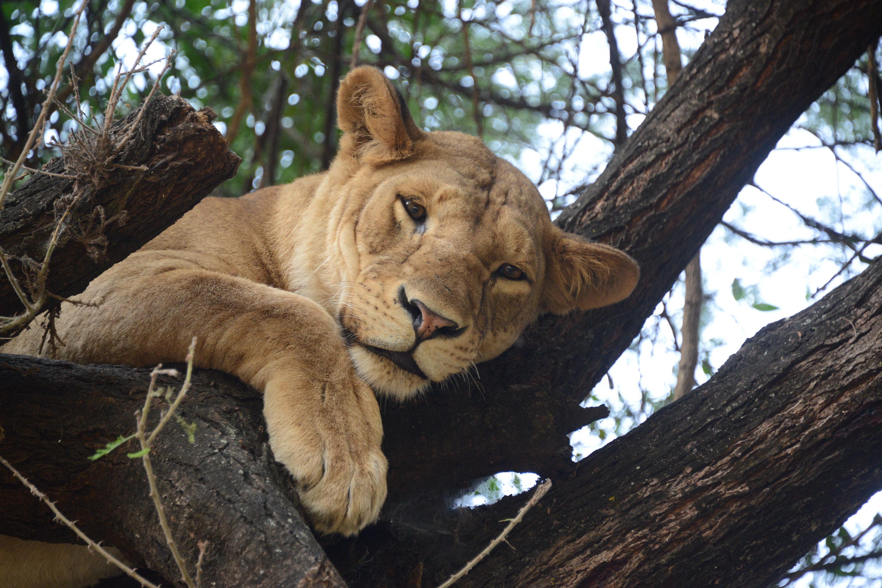 ''Leoa Descansando na Árvore''