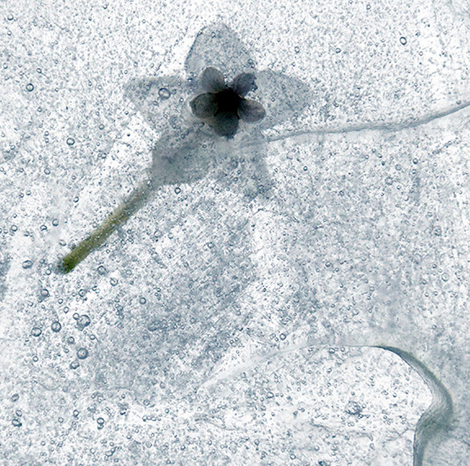 erna-bloem-in-ijs.jpg