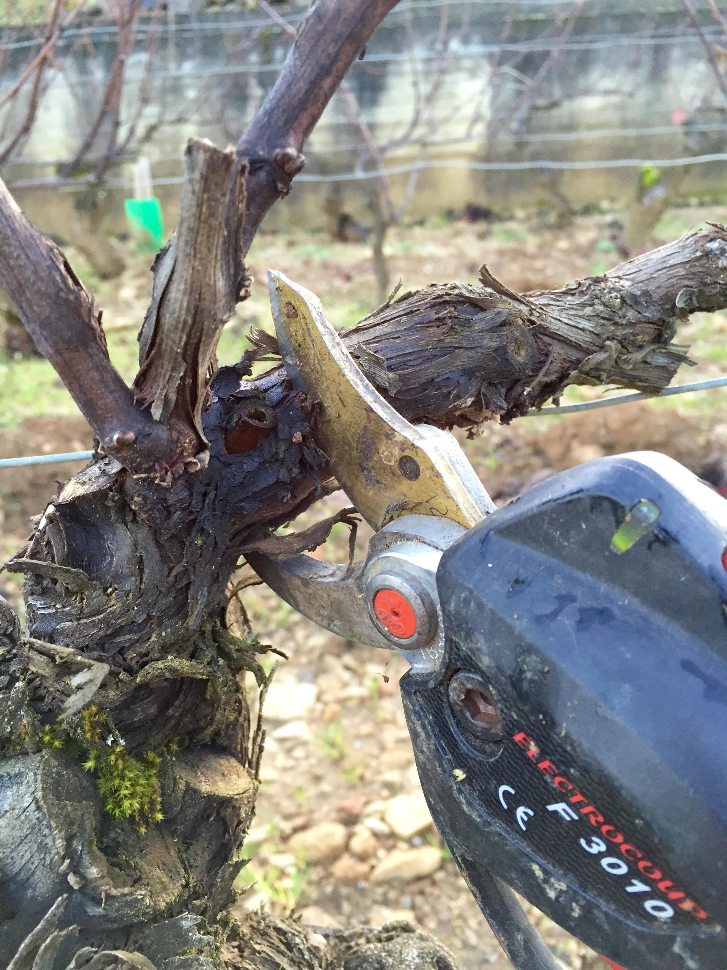 La taille de la vigne
