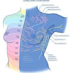 Chest Wall Innervation