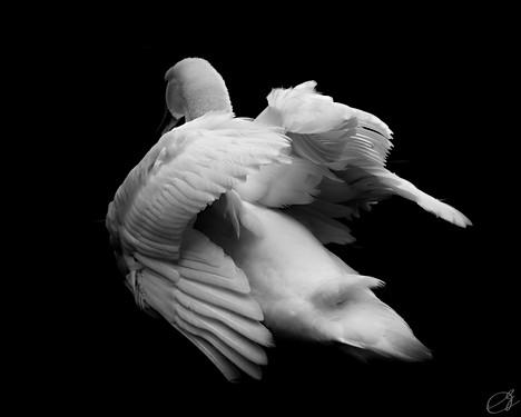 Alabaster Swan