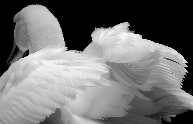 Detail: Alabaster Swan
