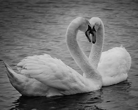 Swanheart