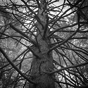 Spiney Pine
