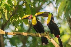 oiseaux-costa-rica