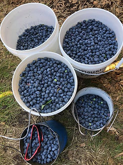 Blueberries 1.jpg