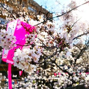 24] 🌸🌸🌸 #japan #team_jp #sakura #trav