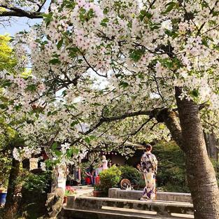 It's sad every time I see a sakura tree