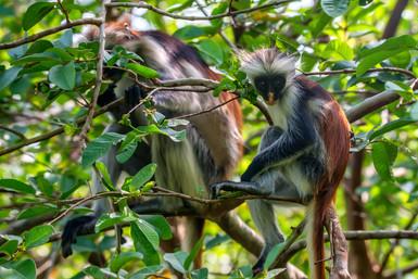 zanzibar-red-colobus-or-procolobus-kirki