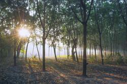 Pho La Min Natural Rubber Plantation