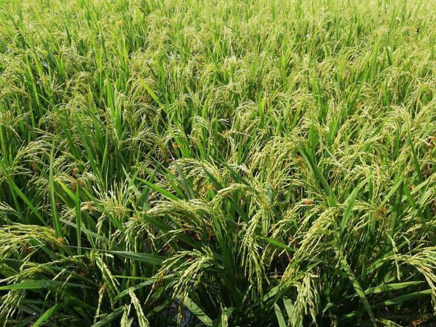 Pho La Min Rice Paddy Field