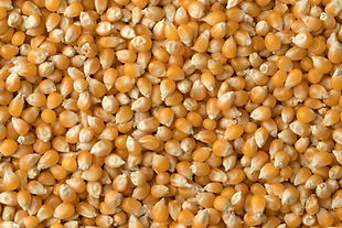 dried-corn-kernels-2Q9M4ZC.jpg
