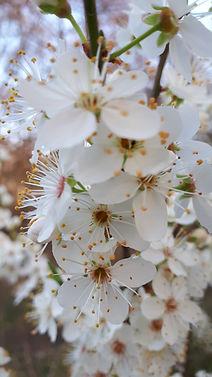 blackthorn blossom.jpg