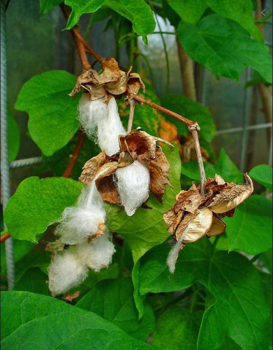 Gossypium harbaceum bawełna indyjska