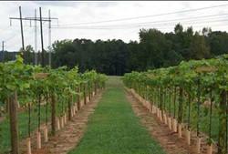 Trillium Vineyard (9)