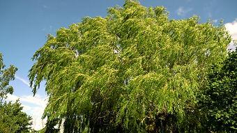 The Willow Tree.jpg