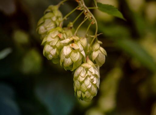 Insumos cervejeiros: Lúpulo