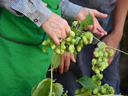 Novas técnicas favorecem o cultivo nacional do lúpulo