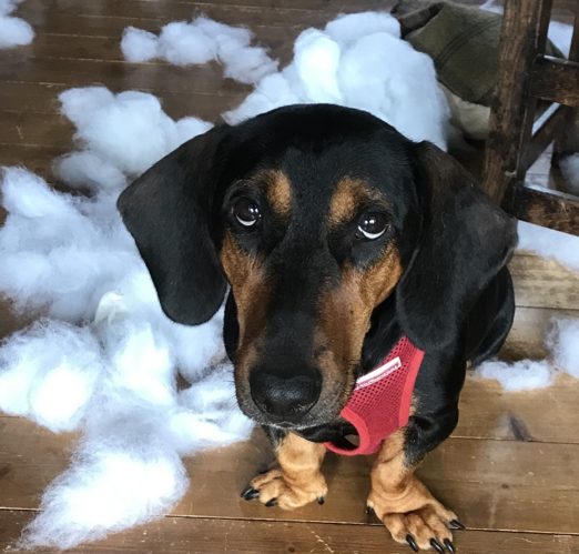 Mildred the sausage dog