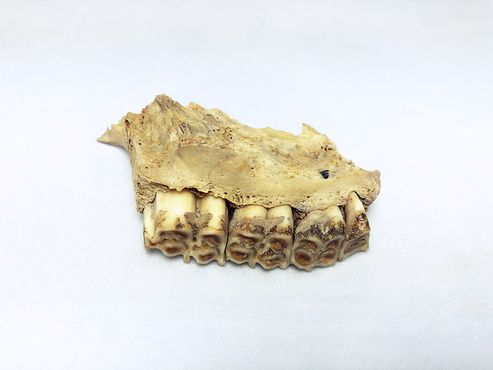 Jaw Artefact.png