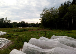 Toiles dans le champ sud | Row covers in our south field