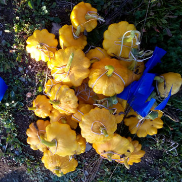 pattypan yellow-mix patissons jaunes72 2