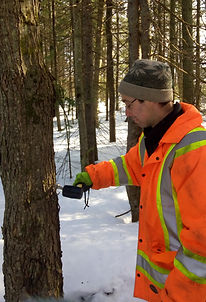 sugar maple tapping at the farm