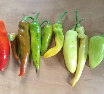 one of our sweet pepper crosses: F2 (second generation) diversity