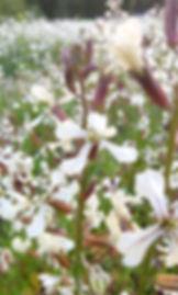 roquette_rocket_arugula_flowers72.jpg