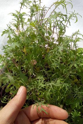 Kale BEAR NECESSITIES