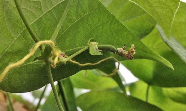 formation gousse haricot après pollinisation