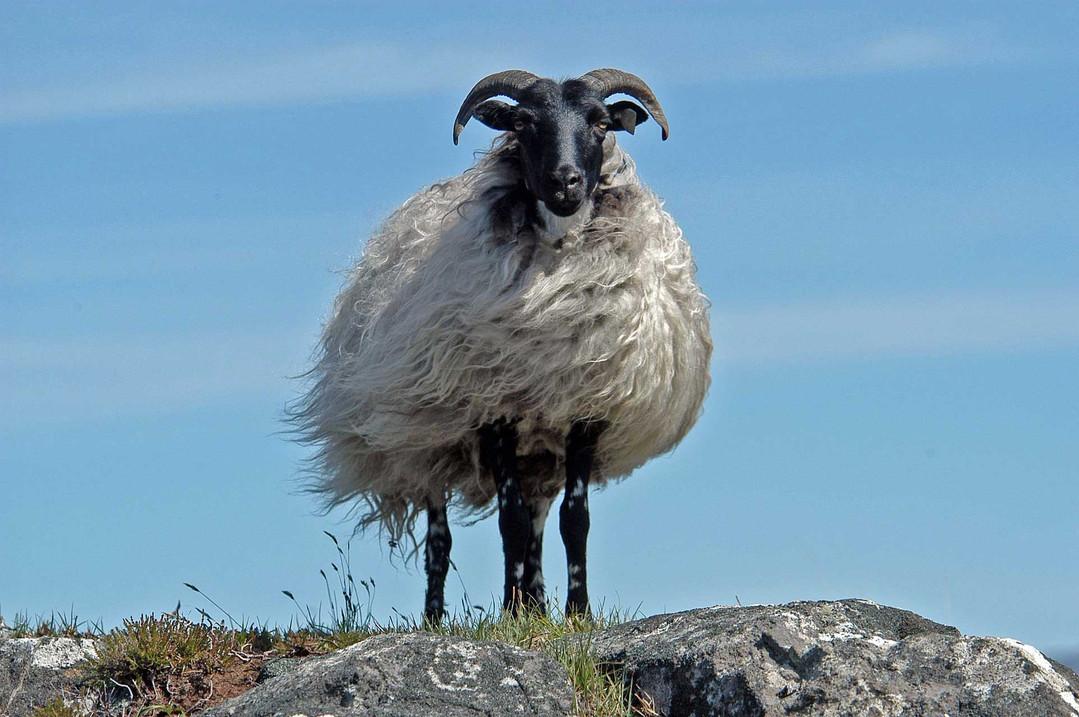 sheep-1958734_1920.jpg
