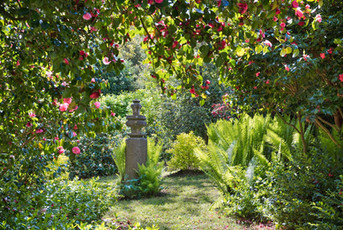 Flowering_Camellias_At_Glin.jpg