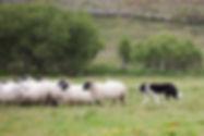 Bay Coast_Glen Keen Farm_Sheep Herding.j