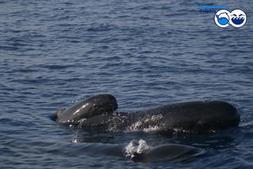 odo_idp_pilot-whales_podjpg