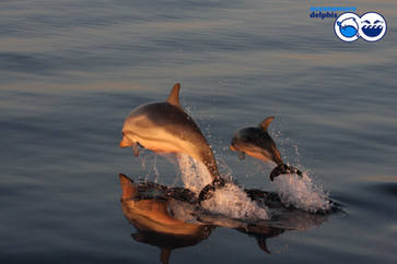 odo_idp_striped-dolphin_mother-and-calf
