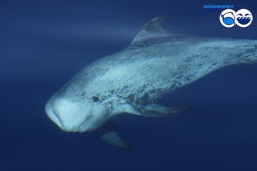odo_idp_rissosdolphins_underwaterjpg