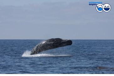 odo_idp_sperm-whale_breachingjpg